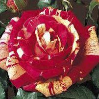 Rosier \'Méli Mélo\' ®orastrip, buisson caduc au feuillage vert foncé et aux fleurs mélange strié de jaune clair de blanc et de rouge au printemps.