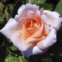 Rosier \'Michelle Meilland\', buisson caduc au feuillage vert foncé et aux fleurs rose lilas et au coeur saumon au printemps.