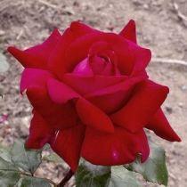 Rosier \'Mister Lincoln\', buisson caduc au feuillage vert foncé et aux fleurs rouge foncé au printemps.