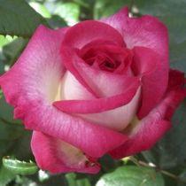 Rosier \'Pascal Sevran\' ®adalyakcès, buisson caduc au feuillage vert foncé et aux fleurs rouge cerise au revers doré au printemps.