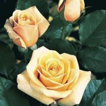 Rosier \'Paul Ricard\' ®meinivoz, buisson caduc au feuillage vert foncé et aux fleurs jaune ambré au printemps.