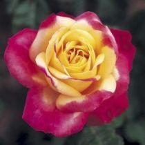 Rosier \'Pulmann Orient Express\' ®baipeace, buisson caduc au feuillage vert foncé et aux fleurs jaune ourlé de rose bengale au printemps.