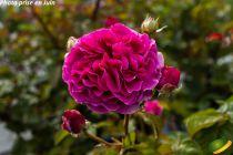 Rosier \'Purple Voluptia\'