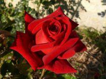 Rosier \'Rouge Adam\' ®adahuin