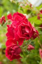 rosa sparkling ou rosier paysager rouge vif à floraison de juin aux gelées en massif ou bordure au soleil.