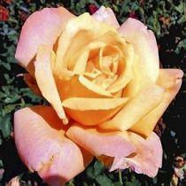 Rosier \'Sutter\'s Gold\', buisson caduc au feuillage vert foncé et aux fleurs jaune orange et rouge au printemps.