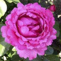 Rosier \'Yves Piaget\' ®meivildo, buisson caduc au feuillage vert foncé et aux fleurs rose au printemps.