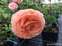 Rosier anglais Austin \'Abraham Darby\' ®auscot