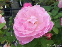 Rosier anglais Austin \'Mary Rose\' ®ausmary