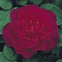 Rosier anglais Austin \'Sophy\'s Rose\' ®Auslot, arbuste au feuillage caduc vert foncé et aux fleurs rouge cramoisi en été.
