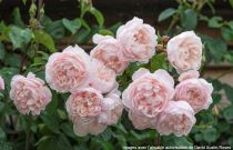 Rosier anglais Austin \'The Generous Gardener\' ®ausdrawn