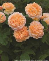 Rosier anglais Austin \'The Lady Gardener\' ®ausbrass