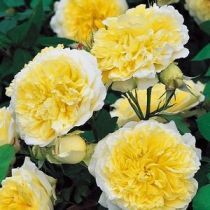 Rosier anglais Austin \'The Pilgrim\' ®auswalker, arbuste au feuillage caduc vert foncé et aux fleurs jaune et blanc en été.
