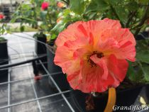 Rosier buisson grande fleur \'Alfred Sisley\' ® delstrijor