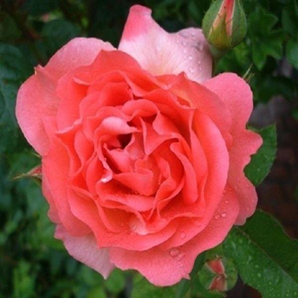 rosier grimpant 39 nuage parfum 39 coffragrasar grandiflora. Black Bedroom Furniture Sets. Home Design Ideas