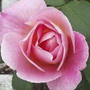 Rosier grimpant \'Tiffany\', grimpant au feuillage caduc vert foncé et aux fleurs rose en été.