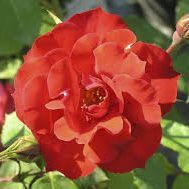 Rosier arbustif aux fleurs semi-doubles rouge vermillon, variété remontante.