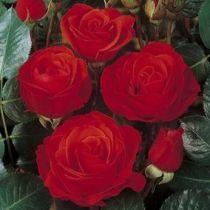 Rosier polyantha \'Chorus\' ®meijulita, polyanthas au feuillage caduc vert foncé et aux fleurs rouge en été.