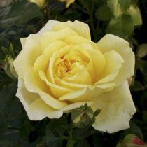 Rosier polyantha \'Golden Delight\', polyantha au feuillage caduc vert clair et aux fleurs jaune pâle en été.