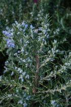 Rosmarinus officinalis \' Pointe du Raz \', arbuste rampant, persistant vert gris et à la floraison bleu ciel en début de printemps.