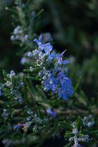 Rosmarinus officinalis \'Corsican blue\', arbuste persistant au feuillage vert bleuté et à la floraison bleue en début de printemps.