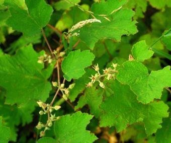 Rubus* pinnatisepalus