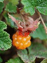 Rubus x betty ashburner
