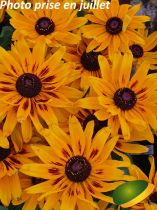 Rudbeckia \'Summerdaisy\'s ® Bronze Bicolor\'