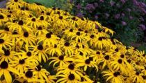 Rudbeckia fulgida \'City Garden\'