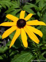 Rudbeckia fulgida \'Little Gold Star\'