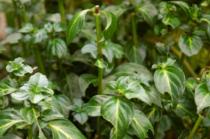 Rungia Klossii - Plante champignon