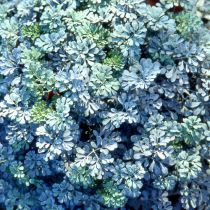 Ruta graveolens \'Jackman\'s Blue\'