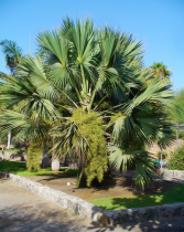 Sabal* palmetto