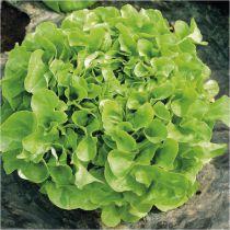 Salade F. de chêne verte \' Manati green \'