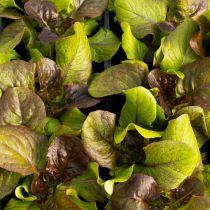 Salade Laitue rouge \'Kendo\'