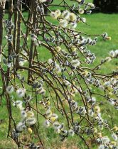 Salix * caprea \'Curly Locks\'