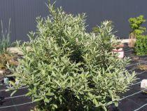 Salix * helvetica