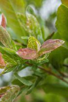 Salix * integra \'Hakuro-Nishiki\'