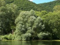 Salix alba \' Liempde \'