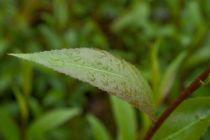 IMG_6398, arbre au feuillage caduc vert foncé et au bois brun pourpre aux chatons argenté puis jaune en hiver.