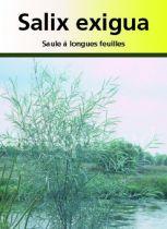 Salix exigua, arbre au feuillage caduc argenté et aux chatons jaune pâle.