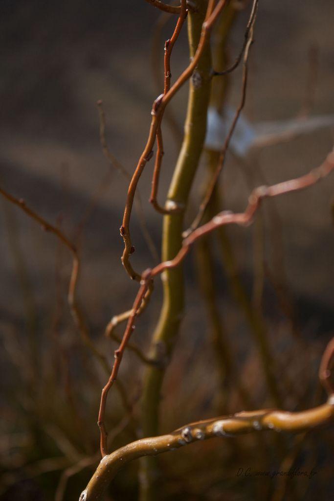 Salix matsudana \' Caradoc \'