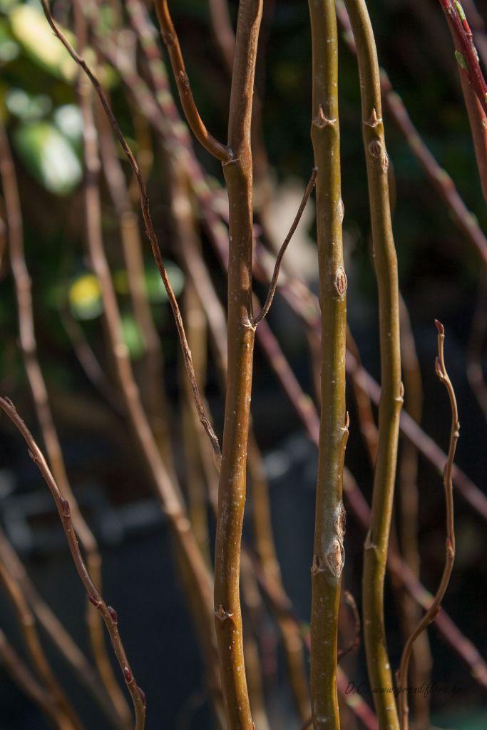 Salix matsudana \' Chocolat \'