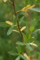IMG_6402, arbre caduc au feuillage vert glauque au bois rouge pourpre.