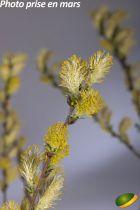 Salix repens \'Nitida\'