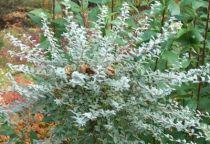 Salix repens \'Voorthuizen\'