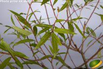 Salix sachalinensis \'Sekka\'