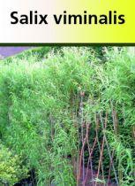 Salix viminalis, arbre au feuillage caduc vert clair et au jeune bois orangé.