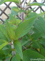 Salvia elegans \'Ananas\'