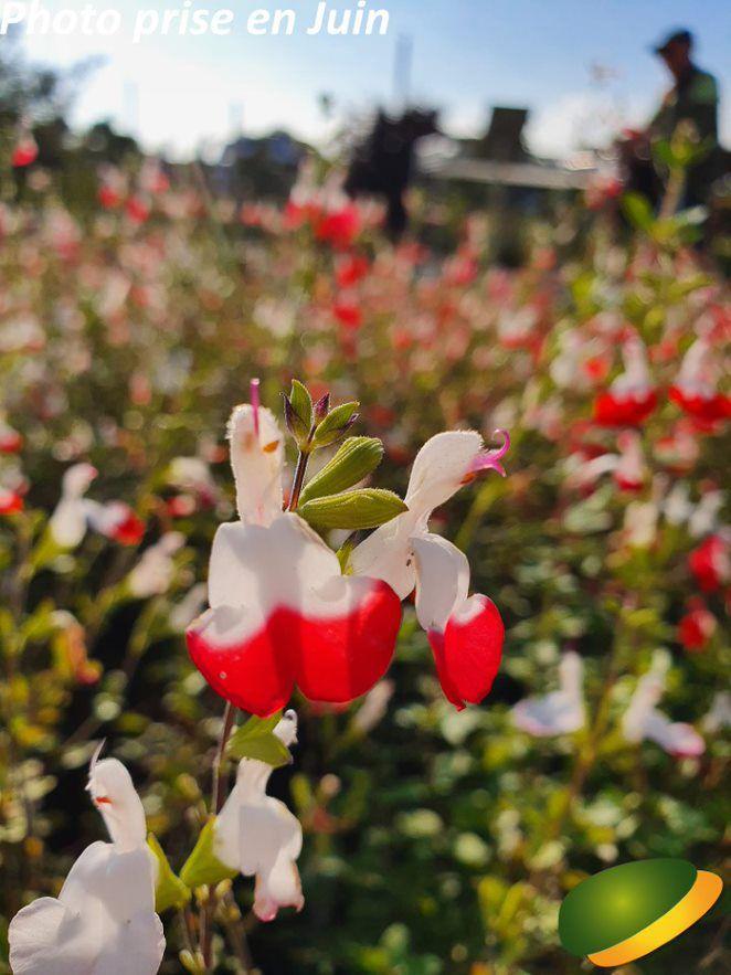 Salvia grahami \'Hotlips\'